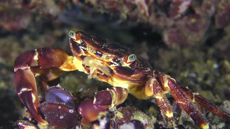 Crab (Pachygrapsus marmoratus) eats mussel meat from an open shell. Dostupné videozáznamy