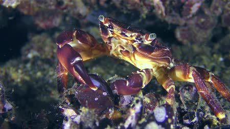 Marbled rock crab (Pachygrapsus marmoratus), the open shell of the mussel with claws.