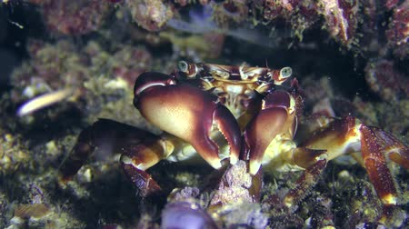 Crab (Pachygrapsus marmoratus) tries to get the meat from the mussel open shell. Dostupné videozáznamy
