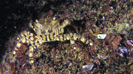 Marbled rock crab (Pachygrapsus marmoratus) slowly crawls on the bottom, medium shot. Dostupné videozáznamy
