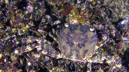 Crab (Pachygrapsus marmoratus) tries to get the meat from the open mussel shell, rear view, close-up.