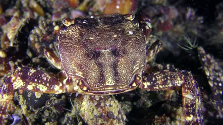 Marbled rock crab (Pachygrapsus marmoratus) eats something, rear view, close-up. Dostupné videozáznamy