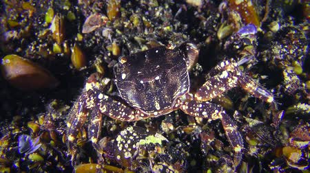Crab (Pachygrapsus marmoratus) eats something, then slowly creeps out of the frame.