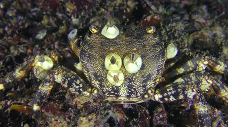 Marbled rock crab (Pachygrapsus marmoratus) with shells of balanus on the back, close-up.