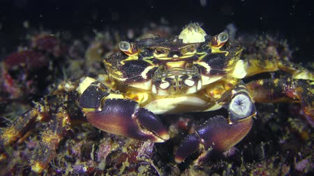 Marbled rock crab (Pachygrapsus marmoratus), portrait, well visible movement of the oral legs.