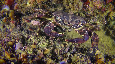 Crab (Pachygrapsus marmoratus) sends pieces of food to the mouth with claws.