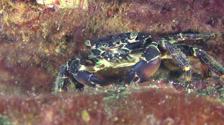 Marbled rock crab (Pachygrapsus marmoratus) on a stone covered with red algae.