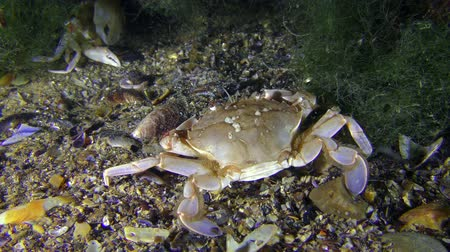 Swimming crab (Liocarcinus holsatus) is eating something against the background of green algae, rear view. Dostupné videozáznamy