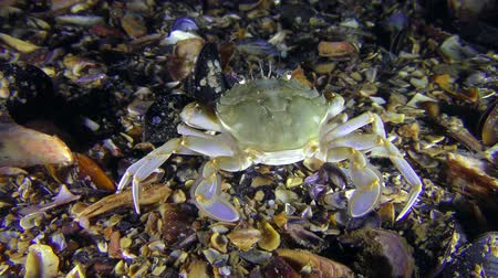 Swimming crab (Liocarcinus holsatus) sits at the bottom, then slowly goes away.