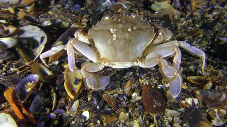 Swimming crab (Liocarcinus holsatus) sits at the bottom, then slowly leaves the frame, rear view.