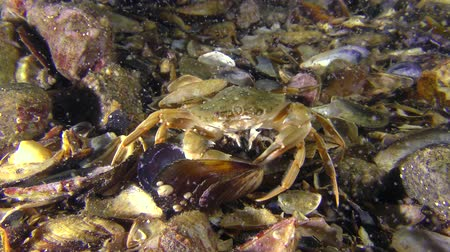 Swimming crab (Liocarcinus holsatus) eats the meat from a mussel shell, wide shot.