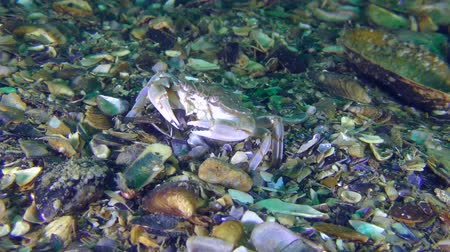 Swimming crab (Liocarcinus holsatus) puts the mussel shell in its mouth with its claws. Dostupné videozáznamy