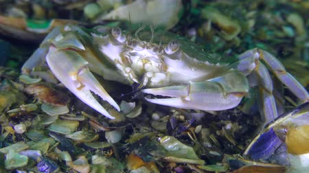 Swimming crab (Liocarcinus holsatus) eats a shell of a mussel, closeup.