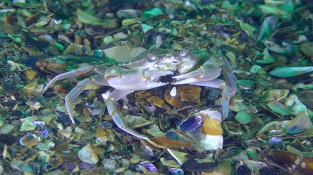 Crab (Liocarcinus holsatus) breaks the mussel shell with its claws.