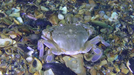 Marine crab (Liocarcinus holsatus) eats something, rear view.