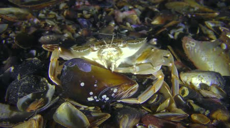 Crab (Liocarcinus holsatus) takes meat from the shell of the mussel. Dostupné videozáznamy