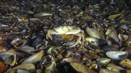 Swimming crab (Liocarcinus holsatus) is trying to get meat from the shell of the mussel. Dostupné videozáznamy
