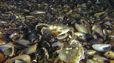 Swimming crab (Liocarcinus holsatus) takes meat from the shell of the mussel, another crab scares it.
