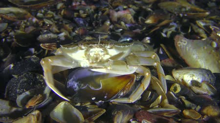Swimming crab (Liocarcinus holsatus) takes meat from the shell of the mussel, medium shot. Dostupné videozáznamy