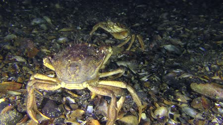 kerevit : Meeting of two Green crab (Carcinus maenas) on the seabed.