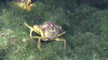 crustáceo : Meeting and a short fight of two Green crab (Carcinus maenas) on the seabed.