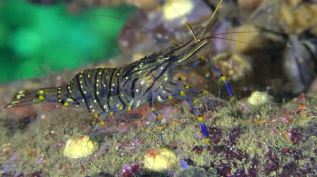 adspersus : Grass Prawn (Palaemon elegans) is looking for food on the seabed, closeup.