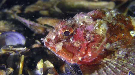 erythraea : Reproduction Clam Worms (Nereis sp.): Mass spawning in the background of the Black scorpionfish (Scorpaena porcus). Stock Footage