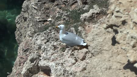 kittiwake : Slow zoom on the Herring Gull on the nest on the ledge of the coastal cliff.