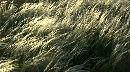 maidenhair : The feather-grass (Stipa sp.) steppe in sunset time, medium shot.