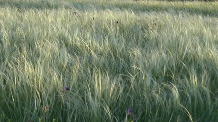 maidenhair : Covered with feather grass (Stipa sp.) steppe in sunset hours, middle shot. Stock Footage