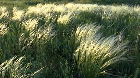 maidenhair : The feather grass steppe in sunset hours, middle shot. Stock Footage