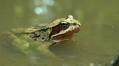 european tree frog : The frog (Rana arvalis) is half submerged in the water of the pond.