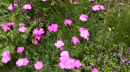 pratensis : Flowering plants of pink (Dianthus sp.), medium shot.