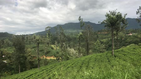 Ella, Sri Lanka, beds with tea leaves 4K