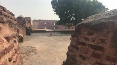 geliştirmek : Agra, India - Agra Fort monkey walks in the fort 4K Stok Video