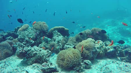 podwodny swiat : Underwater Colorful Fishes and Corals in the Beautiful Tropical Island of Maldives in Indian Ocean