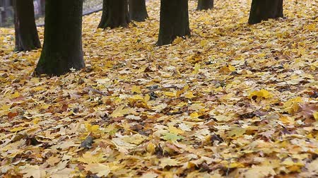 проливая : Yellow autumn leaves in the park on windy day