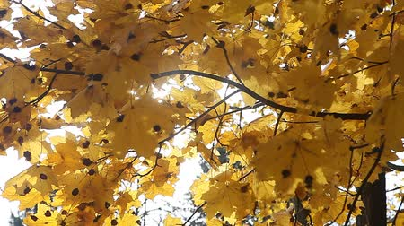 проливая : Sun shining through golden yellow leaves on windy autumn day