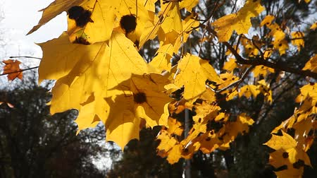 проливая : Golden yellow leaves on windy fall day
