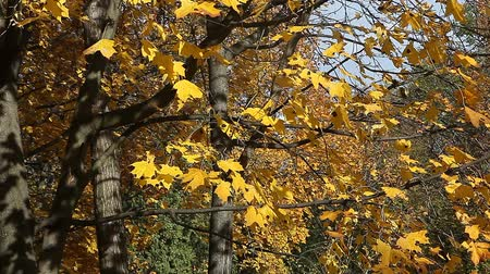 проливая : Golden yellow leaves on windy autumn day