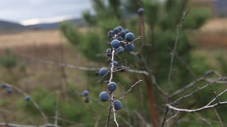 невозделанный : Prunus spinosa, or blackthorn bush with lots of berries