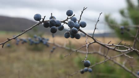 neobdělávaný : Prunus spinosa, or blackthorn bush with lots of berries