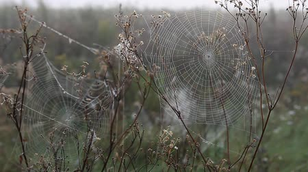 armadilha : Spider web in the light of the rising sun in fall autumn
