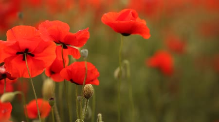 mák : Meadow with beautiful bright red poppy flowers in spring