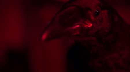 mytický : A mythical black raven with a red lamp looks at the camera Dostupné videozáznamy