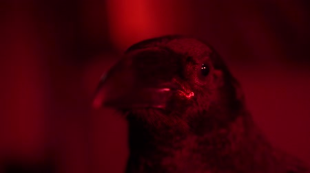 мифический : Raven close up. Red lighting