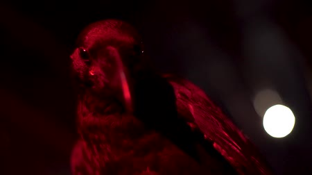 scavenger : Raven looks at the camera in red light