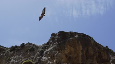 Bearded vulture flies by the edge of the mountain against blue sky. Slow motion