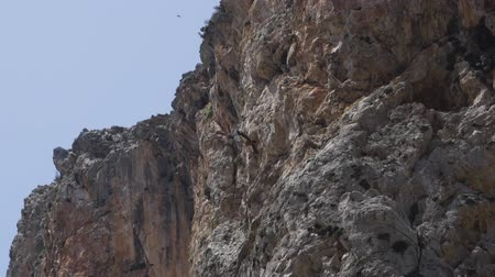 endangered species : A bearded vulture soars against the backdrop of a mountain wall