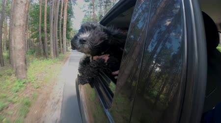 A black dog with long hair leaned out of the window of the car and looks around, and the child hugs and supports her. The dogs coat develops in the wind. Close up. View outside the car. 4K. 25 fps
